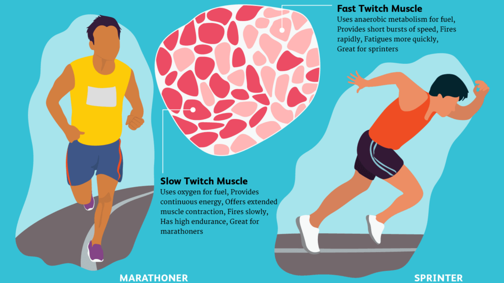 Slow & Fast Twitch Muscle Fibres